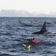 Snorkeling with Orcas